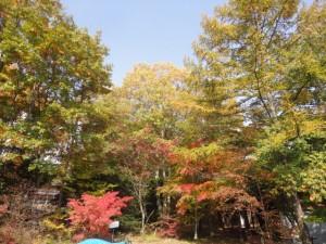紅葉やコナラ、カラマツなどいろんな落葉樹が紅葉しています