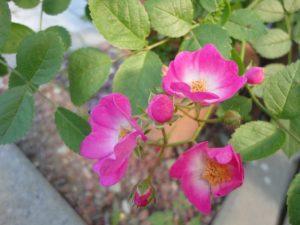 盗まれたバラの花と同じ種類の物