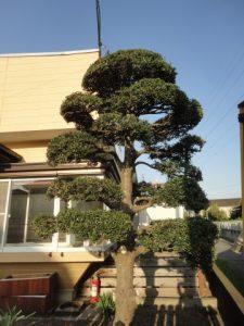 綺麗に刈り込んだ柘植の木