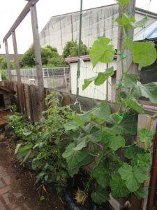 大きくなった野菜
