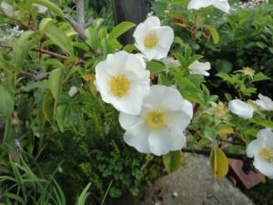 ノイバラという日本に咲く原種
