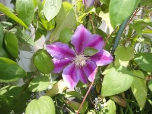 テッセンの花