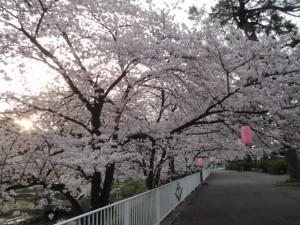 華蔵寺公園の満開の桜