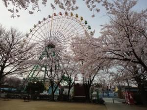 観覧車傍の桜