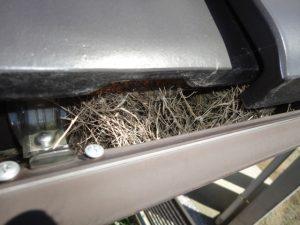 雨樋に雀の巣