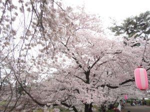 華蔵寺公園の桜
