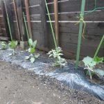植えた苗です