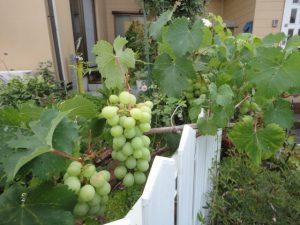 大きくなってきたブドウ
