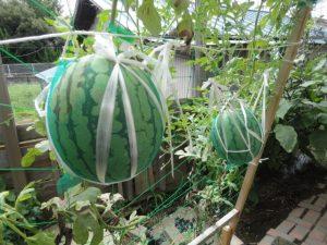 収獲当日の西瓜