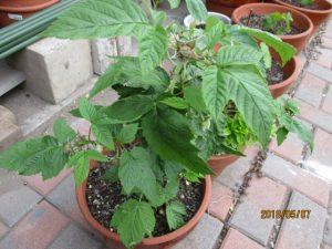 鉢植えのラズベリー