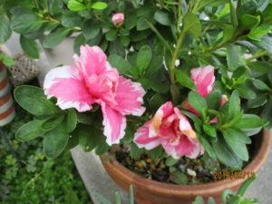 植木鉢のサツキの花