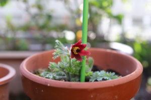 自宅に咲いた翁草の花